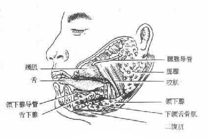 舌头结构图解剖图