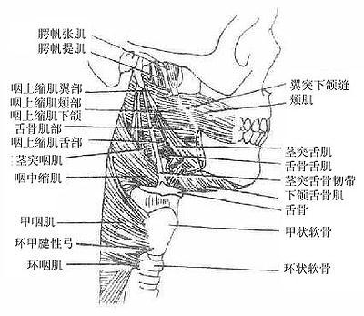 2013年临床执业医师解剖学辅导:咽的血管,神经和淋巴
