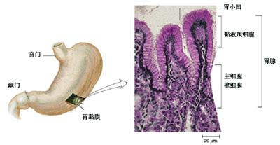 分泌腺和内分泌细胞
