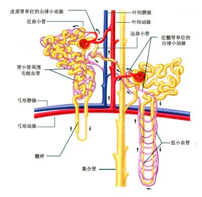 nephron),两 种肾单位在结构和功能具有明显的差别.图片