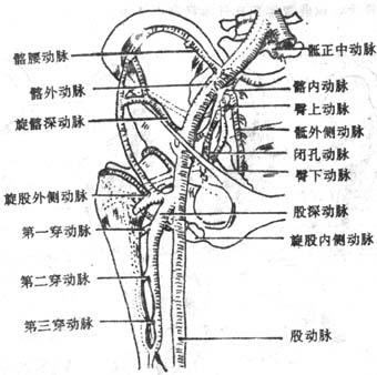 年临床执业医师解剖学辅导 臀部的血管和神经