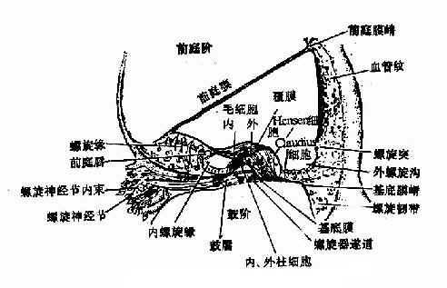 蜗管横切面