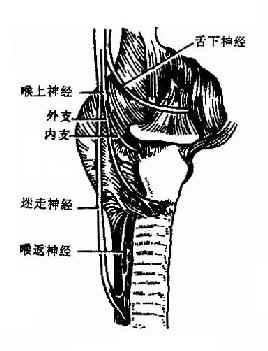 喉结构图片