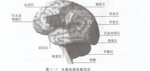 (2)大脑皮层的机能定位